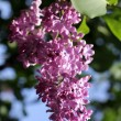 Lilac flower at sunset — Stock Photo #64979729