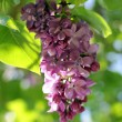 Grape lilac — Stock Photo #64979731