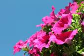 Beautiful delicate flowers petunia — Stock Photo
