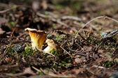 Time for appetizing chanterelle — Stock Photo