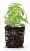 Sweet basil plant with roots and soil isolated on white — Stock Photo