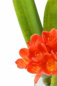 Clivia flowers blooming isolated on white background — Stock Photo