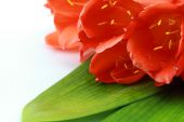 Clivia flowers with water drops closeup isolated on white background — Stock Photo