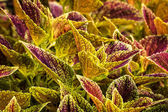Colorful Coleus Plant — Stock Photo