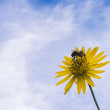 Bee and Fower — Stock Photo #53186389