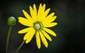 Marguerite jaune — Photo