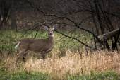 White Tail Deer Doe — Stock Photo