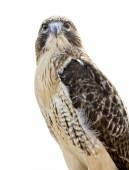 Red-tailed Hawk Isolated — Stock Photo