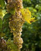 Plump Ripe White Grapes  — Stock Photo
