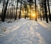 Winter Pines Sunrise — Stock Photo