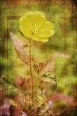 Evening Primrose Flower — Stock Photo