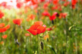 Poppy field on a summer day — Stock Photo
