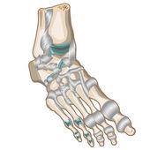 Foot  — Stock Vector
