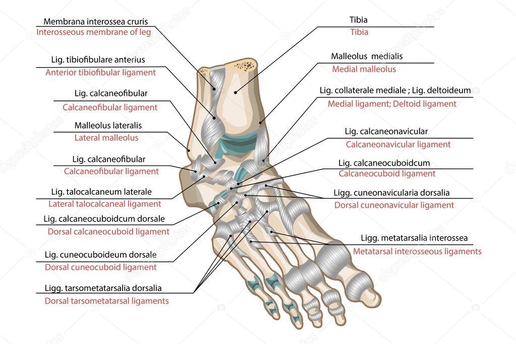 Articulation anatomy definition 5169430 - togelmaya.info