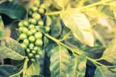 Coffee beans on the branch — Stock Photo