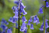 Bluebell — Stock Photo