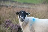 Sheep face on — Stock Photo