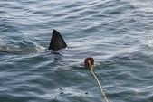 Tiburón blanco (carcharodon carcharias) — Foto de Stock