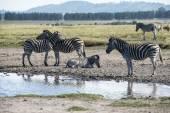 Zebras around watering hole — Stock Photo