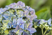 Hydrangeas in full bloom — Stock fotografie
