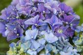 Hortenzie v plném květu — Stock fotografie