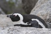 South African Penguin sleeping — Stock Photo
