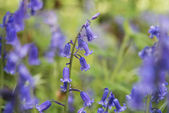Bluebell — Foto de Stock