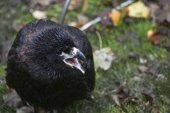 Closeup of a baby Common Blackbird (Turdus merula) — Stock Photo