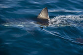 Great white shark (Carcharodon carcharias) — Stock Photo