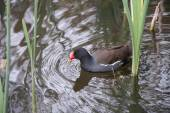 Moorhen — Stock Photo