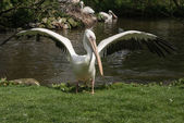 Flapping pelican in a zoo in England — Stock Photo