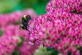 Bumblebee on Sedum (Autumn Joy) flower — Stock Photo