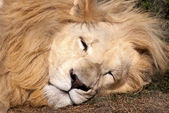 白いライオン — ストック写真