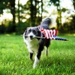 Happy dog playing outside and carrying the American flag — Stock Photo #75370073