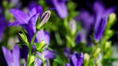 Bellflower (Campanula) — Stock Photo