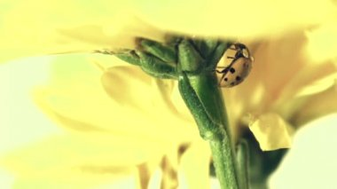 Ladybug on Yellow Daisy — Vídeo de Stock