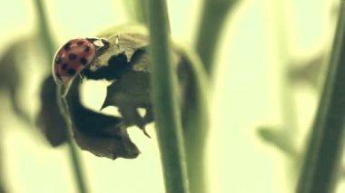 Ladybug on Plant Stem — Vídeo de Stock