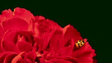 Ladybug on Red Carnation — Vídeo de Stock
