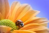Ladybug on Yellow Daisy — Foto de Stock