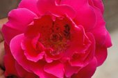 Detailed indian red rose flower closeup — Stock Photo