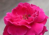 Detaylı kırmızı gül çiçek — Stok fotoğraf