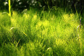Zelený přesličky — Stock fotografie