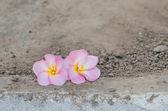 Pink Frangipani — Stock Photo