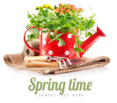 Spring flowers green leaves in watering can garden tools — Stock Photo