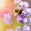 Summery flowers lavender with bee — Stock Photo #76268595