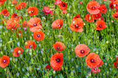 Blooming poppies — Stock Photo