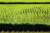 Reisfelder von bali — Stockfoto