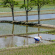Farmer working on Rice field — Stock Photo #57510023