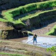 Farmer working on Rice field — Stock Photo #57510489