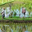 Farmer working on Rice field — Stock Photo #57511333